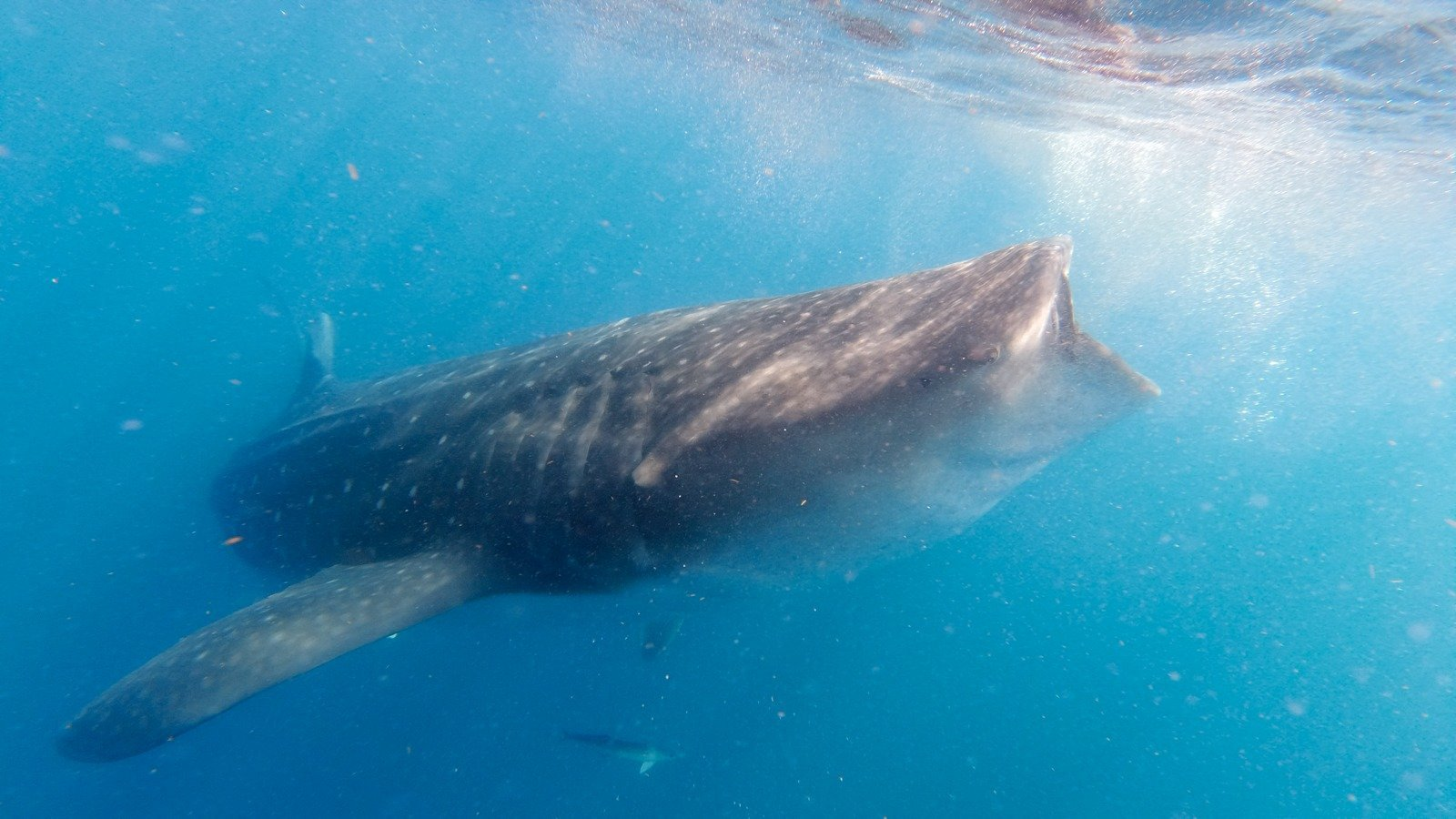 How To Swim With Whale Sharks In Mexico